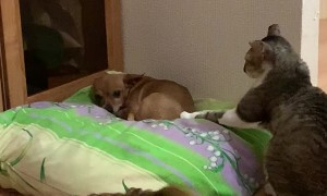 Cat Wants Attention From the Dog