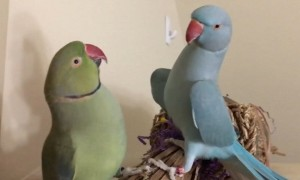 Meet Fabio and Gabriel, the incredible talking parakeet brothers