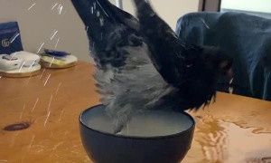 Pigeon Takes A Plunge