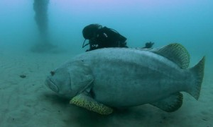 Grouper is Larger Than Diving Buddy