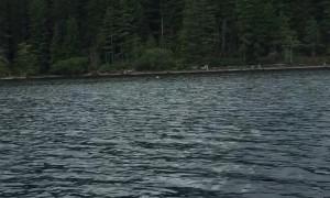Bald Eagle Take the Fish, Line and Lure