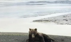 Bear Itching on the Beach