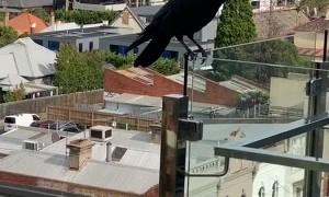 Man Befriends Wild Raven