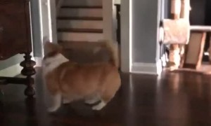 Corgi Boops Balloon to Keep It off the Ground