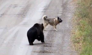 Bear decides to play game of catch with playful dog