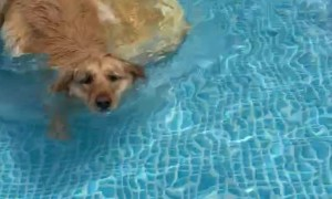 Custom Made Pool Ramp for Golden Retriever