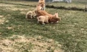 Overly excited Golden Retriever nearly rolls over one of her pups