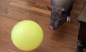 Pig Pounces on Balloon