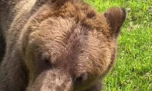 Bear Chases Down Man for Ice Cream