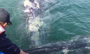 Whale Raises Calf to Boat