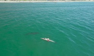 Great White Sharks Feast on Dolphin