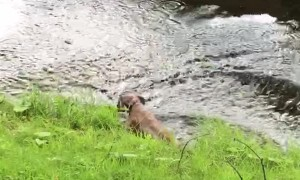 Boxer Slips Back into Stream