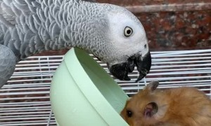 Peckish Parrot Flips Bowl on Hogging Hamster