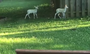 Deer Brings Albino Fawns for Daily Visits