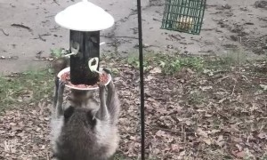 Hungry Raccoon Hangs from Feeder