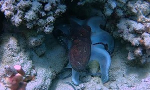 Octopus Hides Amongst Coral