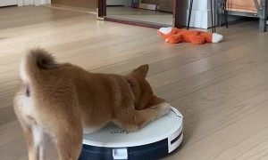 Robot Vacuum Runs Away From Puppy