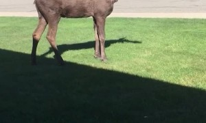 Moose Peacefully Trots on Front Lawn