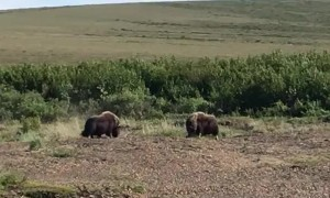 Musk Oxen Putting Their Heads Together