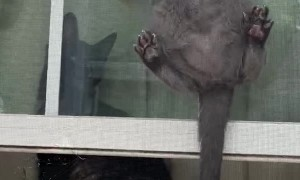 Acrobatic Kitty Climbs up Window Screen