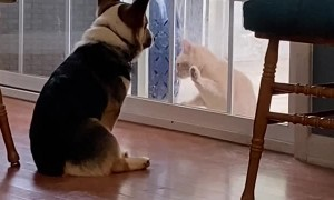 Corgi is Indifferent to Cat's Desire to Come Inside