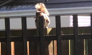 Squirrel Has a Great Fence-Side Performance