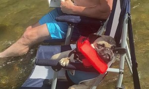 Pug is Tuckered Out After a Day on the River