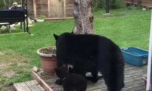 Black Bear and Cubs Play Around in Back Yard