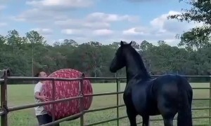 Friesian Horse Plays Ball