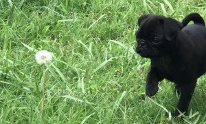 Courageous Pug Pup Tackles a Dandelion