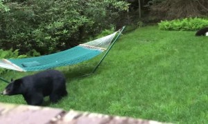 Mama Bear Brings Her Baby Cubs to Check Out Hammock