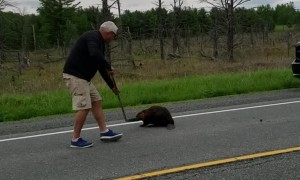 Beaver Doesn't Want to Budge