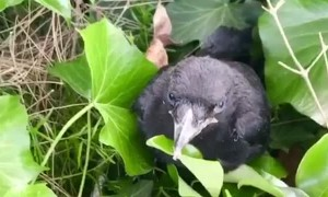 Crow's Incredible Aim to Protect Her Fallen Chick