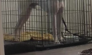 Crate Can't Keep Boxer From Breakfast