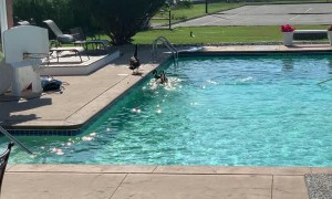 Geese Pool Party