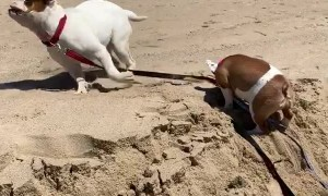 Bulldog Helps Buddy Up a Sand Mound