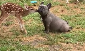 Fawn and Frenchie Exchange Friendly Smooches