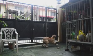 Agile Dog Scales up Wall to Climb Over Gate