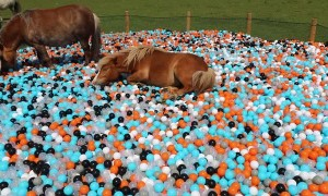 Surprising Miniature Ponies with a Ball Pool