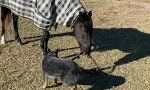 Puppy Plays Tug of War With Horse