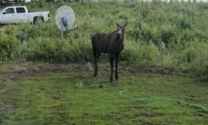 Moose Splashes Off in Sprinkler