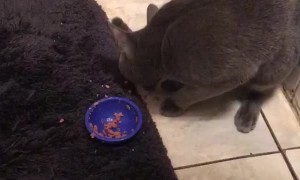 Kitty Prefers Using Paw Over Food Dish