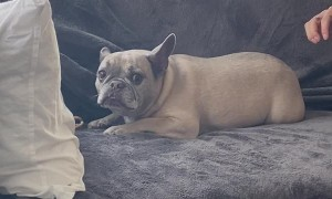 Frenchie Guarding Bone Makes Funny Sound