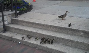 Ducklings adorably follow mom up steps - watch for the last one!