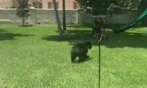 Florida House Cat Faces Off with a Black Bear