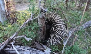 Echidna Close Encounter