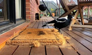 Magpie Destroys Doormat