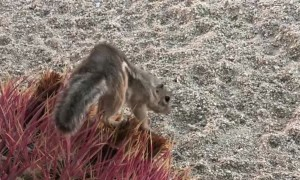 Adorable Desert Squirrel Finds a Cactus Treat