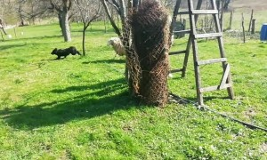 Playful Sheep Loves Chasing Puppy Pal