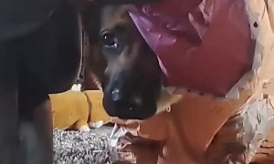 German Shepherd Romps Around in Goofy Dinosaur Costume